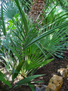 Does Saw Palmetto Work For Hair Loss?