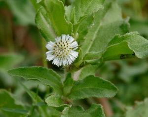 false daisy for hair