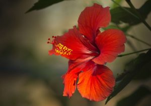 hibiscus flower for hair growth