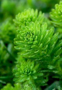 Algae source of omega 3 for vegans