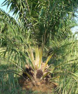 vitamin E (tocotrienol) hair growth